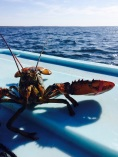 """A lobster saying """"hello"""" during sea sampling in Marie Joseph, NS"""