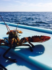 "A lobster saying ""hello"" during sea sampling in Marie Joseph, NS"