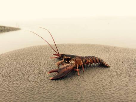 A recently-settled lobster from the collector study