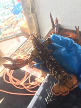 Juvenile lobster caught in one of our recruitment traps