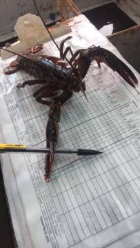 Lobsters help with research too!